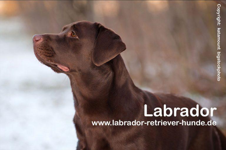 Labrador Ernährung und gesundes Futter