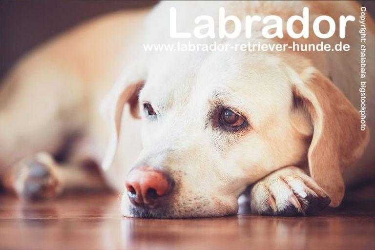 Die Fellpflege beim Labrador Retriever