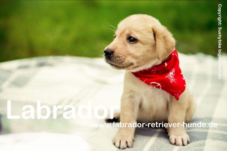 Wie groß wird ein Labrador Retriever?