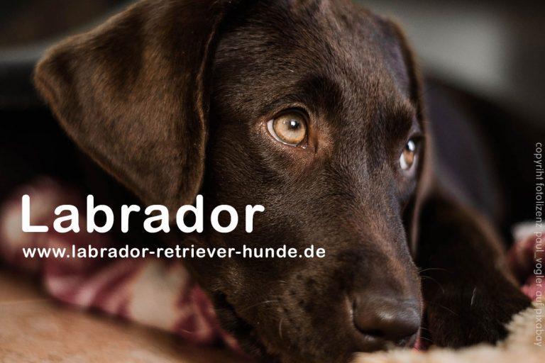 Wie alt wird ein Labrador Retriever?
