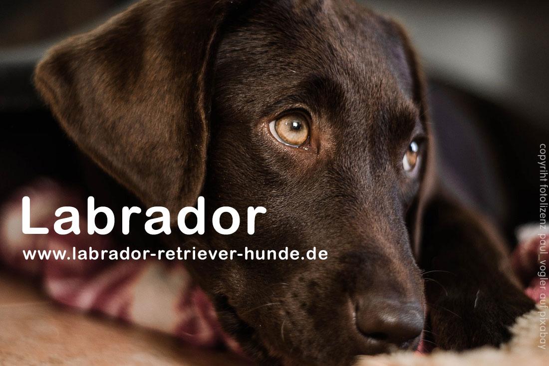 Wie Alt Werden Labrador